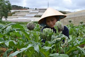 Nguồn gốc và chất lượng hoa dùng làm trà atiso khác nhau thì giá thành bán ra sẽ có sự chênh lệch