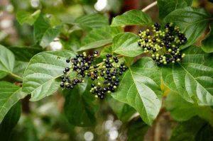 Vọng cách là một loại thảo dược giải độc gan hiệu quả